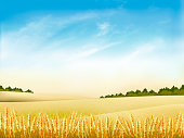 Autumn nature background with golden wheat field and blue sky. Vector