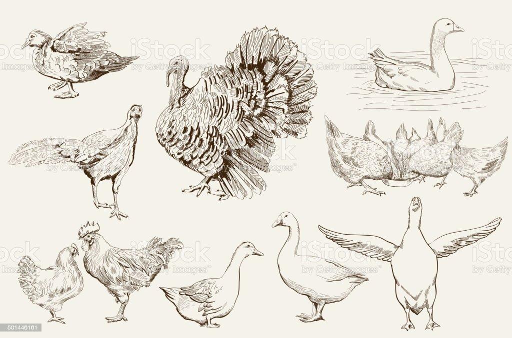 aviculture vector art illustration