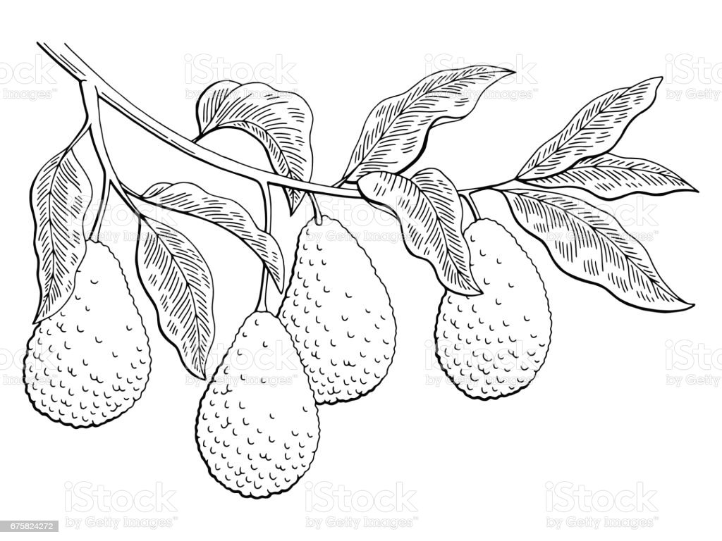 Avocado fruit graphic branch black white isolated sketch illustration vector vector art illustration