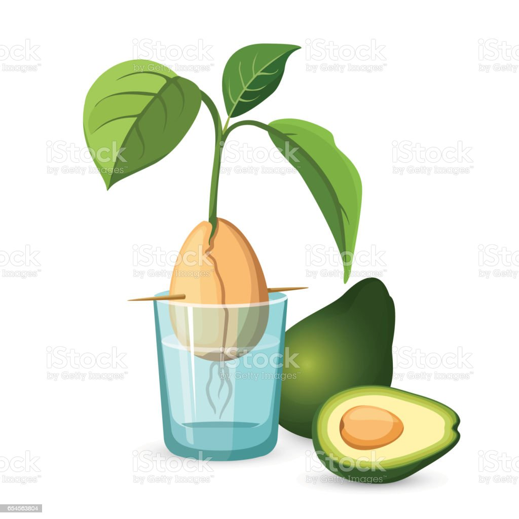 Avocado growing bone, stem and leaves in glass of water vector art illustration