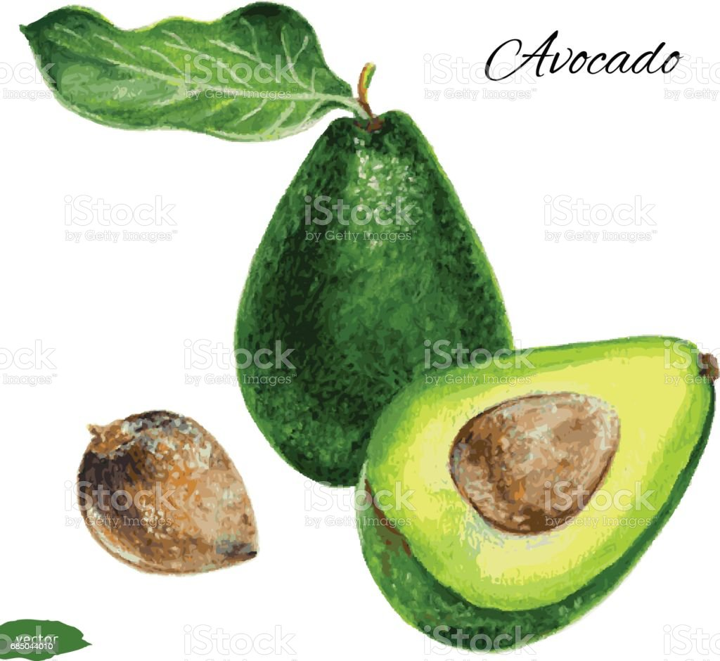 Avocado, half of avocado, avocado seed, Hand drawn watercolor painting isolated on white background, Vector illustration of fruit avocado vector art illustration