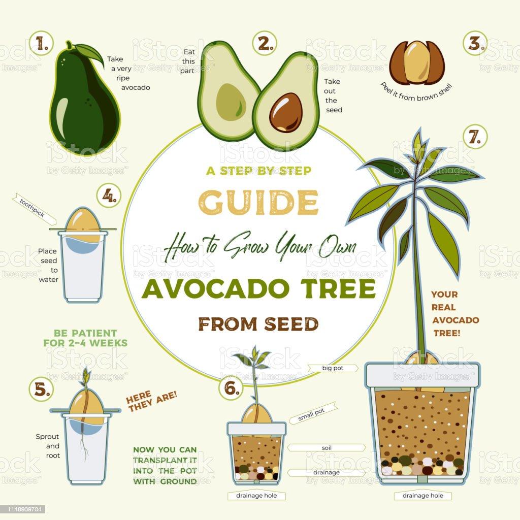 Avocadobaumvektor Wachsenden Führer Plakat Grüne Einfache Anweisung  Avocadobaum Aus Samen Zu Wachsen Avocado Lebenszyklus Stock Vektor Art und  mehr ...
