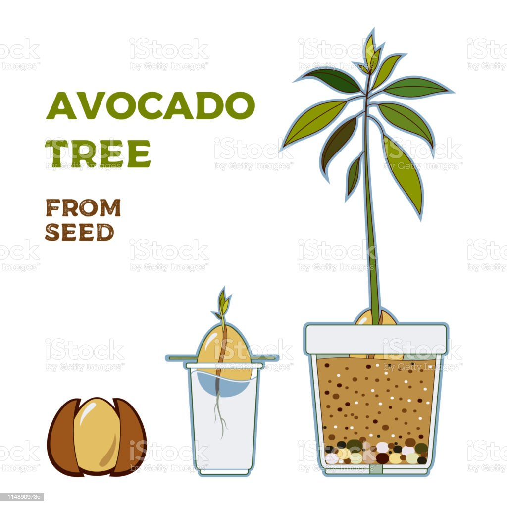 Avocado Life Cycle Pictures