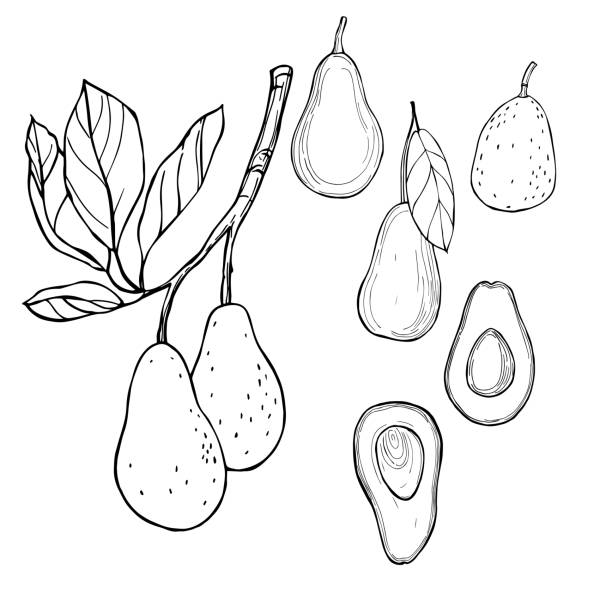 Avocado. Vector sketch  illustration. Hand drawn avocado. Vector sketch  illustration. avocado patterns stock illustrations