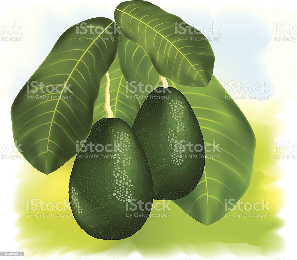 Avocados on a branch with leaves. vector art illustration