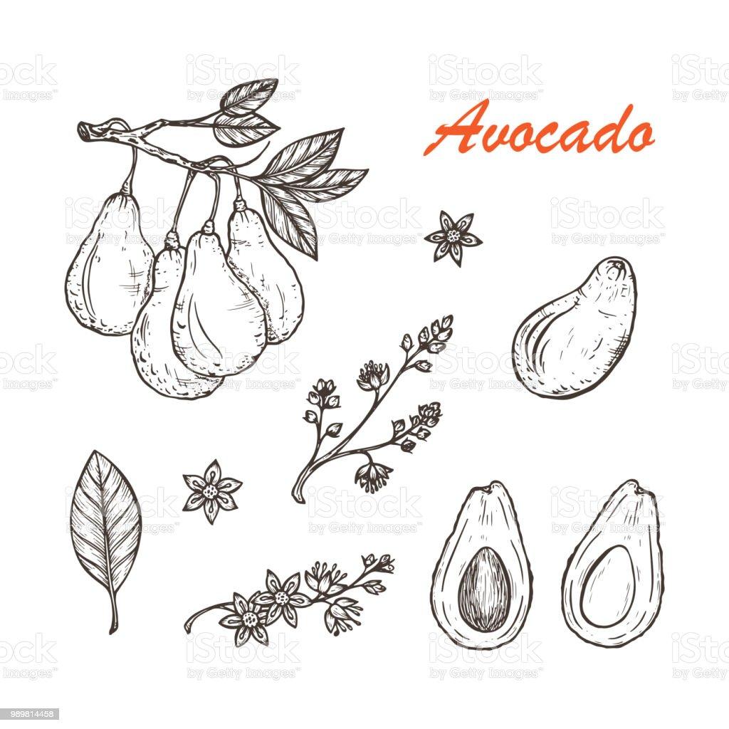 Ilustración De Set De Vectores De Aguacates Ramas Con Hojas
