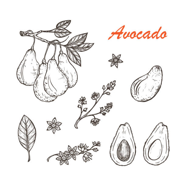 Avocados Vector set: Branches with leaves and fruit. Blossoming Avocado. Leaves, Flowers, Tropical Fruits. Black and white Hand drawn illustration Avocados Vector set: Branches with leaves and fruit. Blossoming Avocado. Leaves, Flowers, Tropical Fruits. Black and white Hand drawn illustration avocado drawings stock illustrations