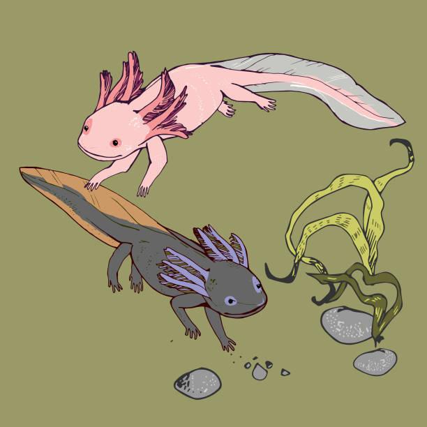 Axolotls vector art illustration