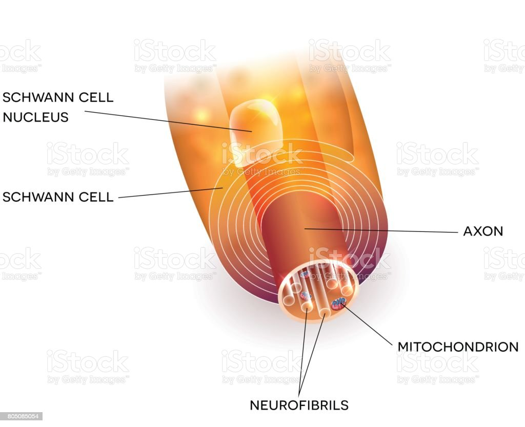 Axon And Myelin Sheath Stock Vector Art & More Images of Anatomy ...