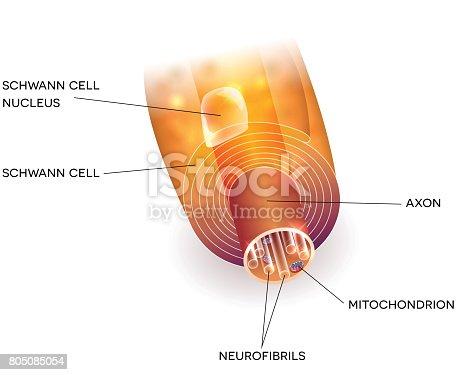 Axon Und Myelinscheide Stock Vektor Art und mehr Bilder von Anatomie ...