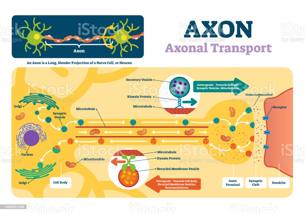 Axon Vector Illustration Labeled Diagram With Explanation And