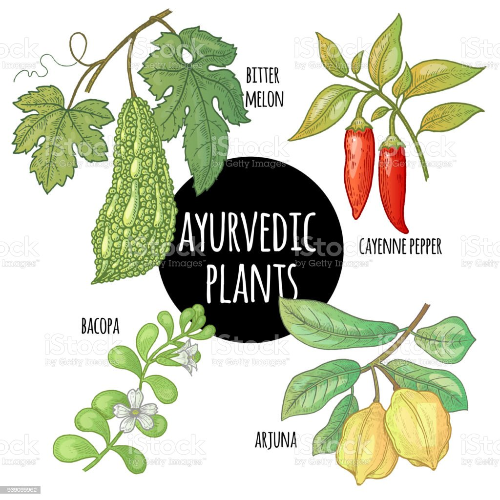 Ayurvedic herbs. Arjuna, Bacopa, cayenne pepper, bitter melon vector art illustration