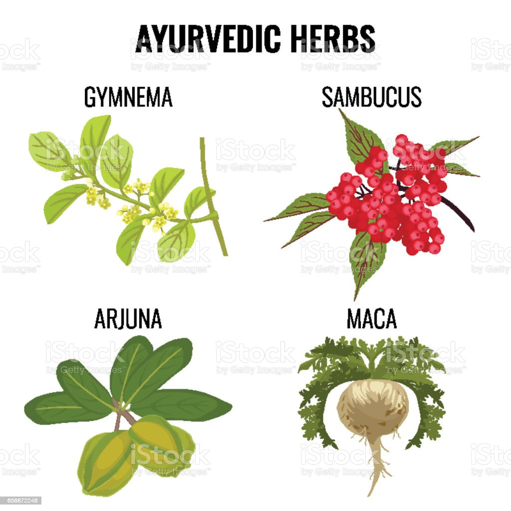 Ayurvedic herbs set isolated on white. Gymnema, sambucus, maca, arjuna vector art illustration
