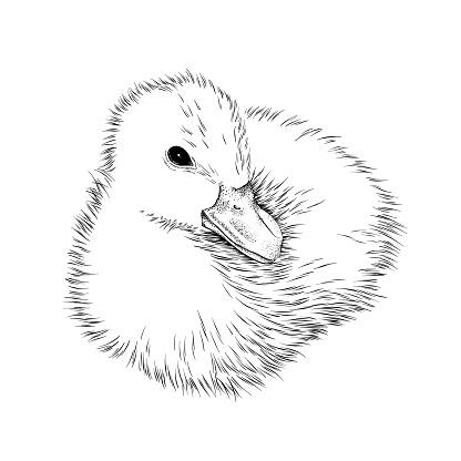 Baby Duck Ink Vector Illustration