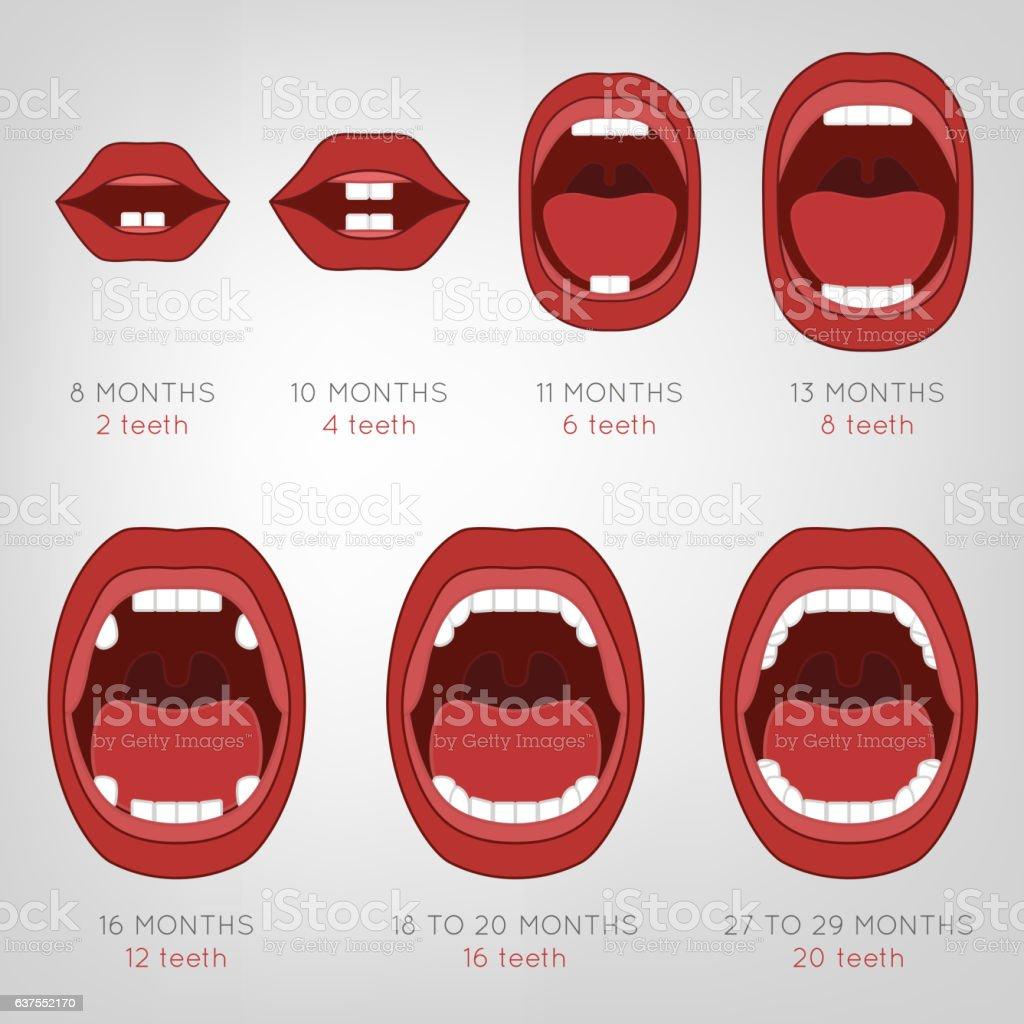 Baby First Teeth Chart vector art illustration