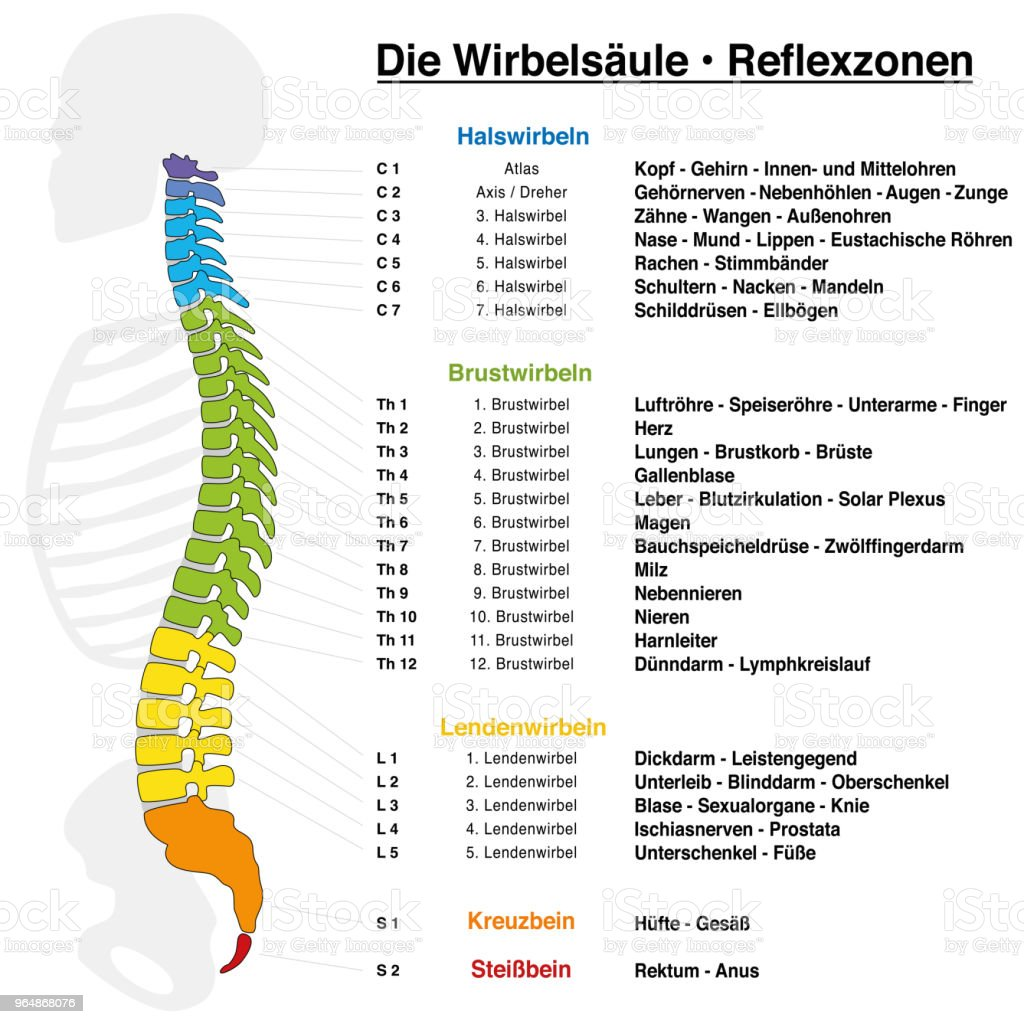 Backbone reflexology chart with accurate description of the corresponding internal organs and body parts, and with names and numbers of the vertebras. GERMAN LANGUAGE. royalty-free backbone reflexology chart with accurate description of the corresponding internal organs and body parts and with names and numbers of the vertebras german language stock vector art & more images of alternative therapy