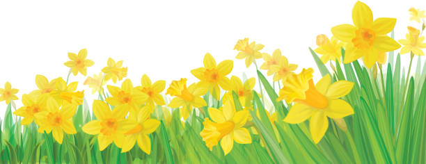 Background with bottom border of yellow daffodils Background is my creative handdrawing and you can use it for spring, Easter's design and etc, made in vector, Adobe Illustrator 10 EPS file, transparency effects used in file. daffodil stock illustrations