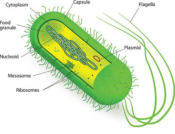 bakterien zellstruktur - prokaryont stock-grafiken, -clipart, -cartoons und -symbole