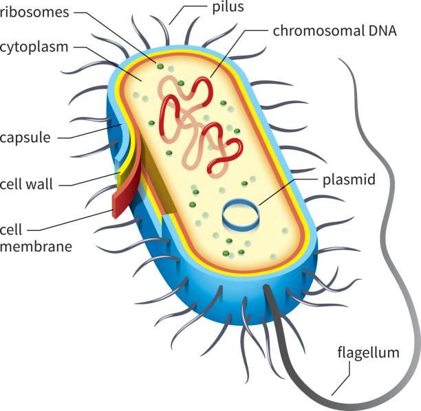 bakterienzelle diagramm - prokaryont stock-grafiken, -clipart, -cartoons und -symbole