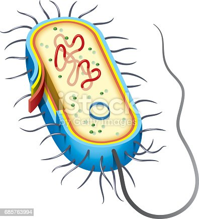 Bacterial Cell Diagram Stock Vector Art More Images Of Anatomy