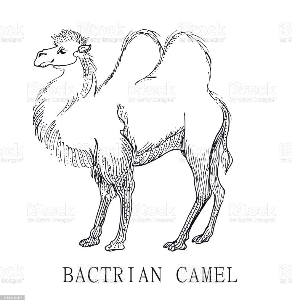 Bactrian Deve Boyama çocuklar Için Camelus Bactrianus Illüstrasyon