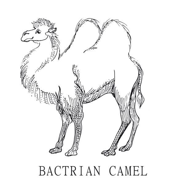 Ilustración de Camello Bactriano Boceto De Ilustración De Camelus ...