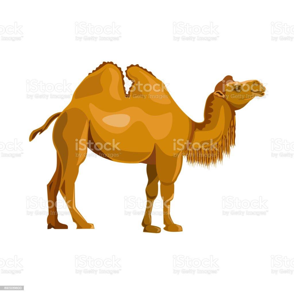 Bactrian camel vector vector art illustration