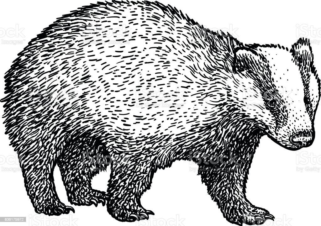 Badger illustration, drawing, engraving, ink, line art, vector vector art illustration