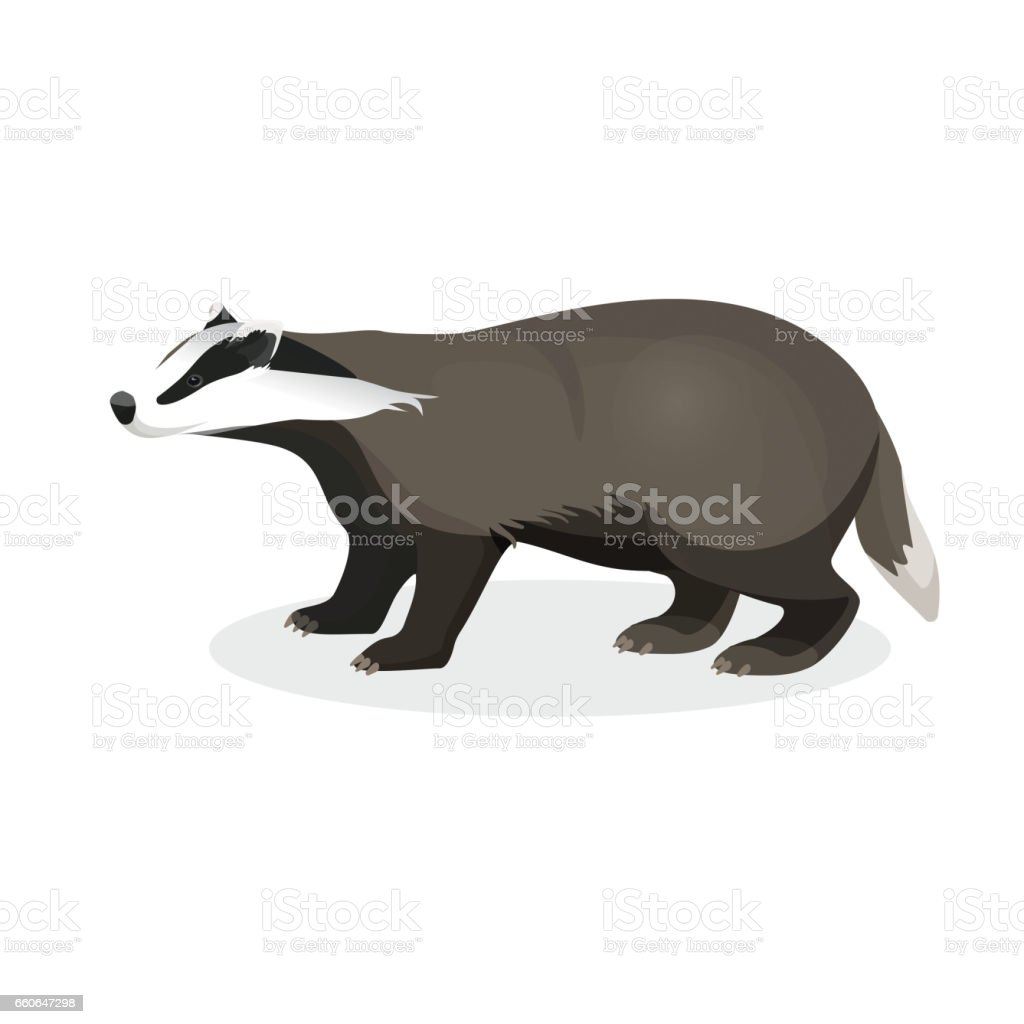 Badger on short legs in realistic style isolated on white vector art illustration
