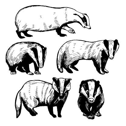 Badger. Vector  illustration.