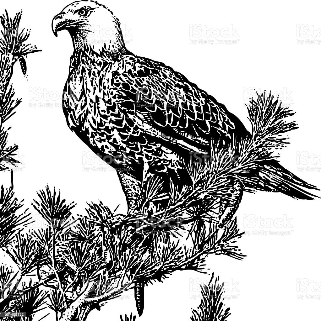 Bald eagle perched in a pine tree isolated on white illustration