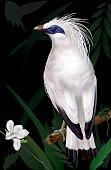 Bali Myna Leucopsar rothschildi