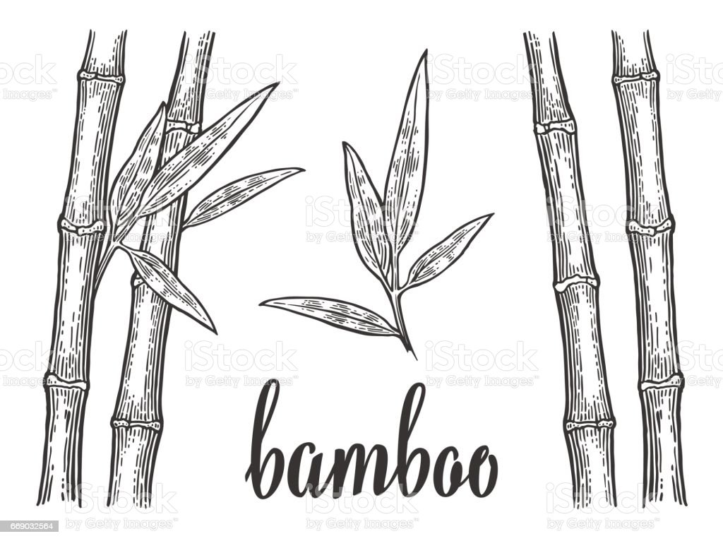 Bamboo trees with leaf white silhouettes and black outline. Hand drawn design element. Vintage vector engraving illustration for logotype, poster, web. Isolated on white background vector art illustration