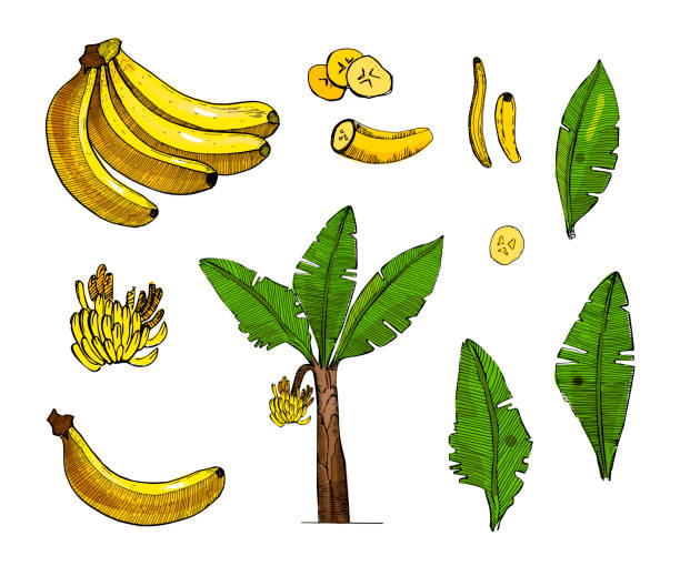 Banana colorful sketch set illustration with leaves,tree,bananas fruits.Detailed botanical style sketch. Tropical fruit and tree.Isolated exotic objects. vector art illustration