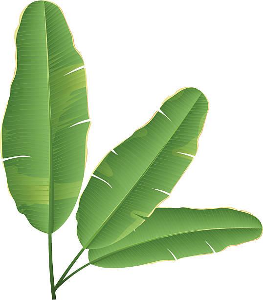 Banana Leaf vector art illustration