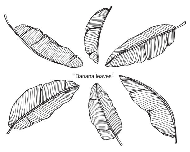 Banana leaves by hand drawing and sketch with line-art on white backgrounds. vector art illustration