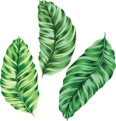 banana leaves, vector