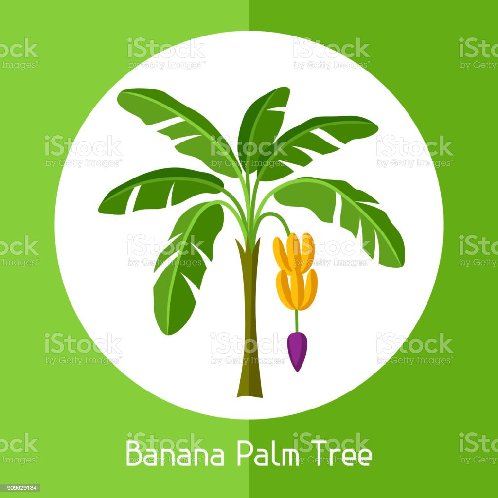 Banana palm tree. Illustration of exotic tropical plant vector art illustration