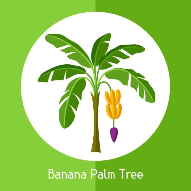 Banana palm tree. Illustration of exotic tropical plant vector art illustration