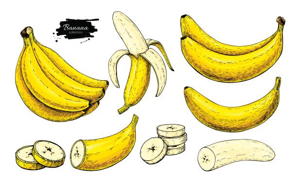 Banana set vector drawing. Isolated hand drawn bunch, peel banana and sliced Banana set vector drawing. Isolated hand drawn bunch, peel banana and sliced pieces.  Summer fruit artistic style illustration. Detailed vegetarian food. Great for label, poster, print banana stock illustrations