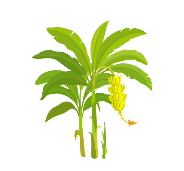 Banana tree. Bananas palm. Vector Illustration plants. Harvest biology. Musa acuminata. vector art illustration