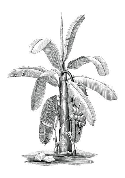 Banane Baum botanische Handzeichnung Vintage ClipArt – Vektorgrafik