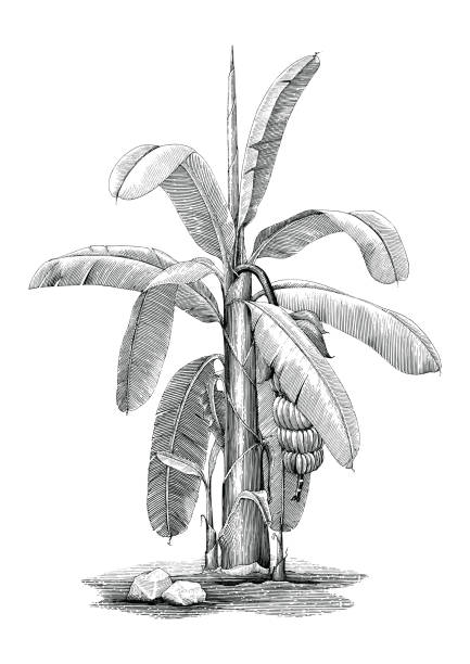 Banana tree botanical hand drawing vintage clip art vector art illustration