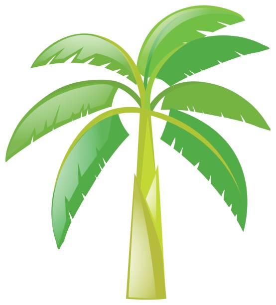 Banana tree on white background vector art illustration