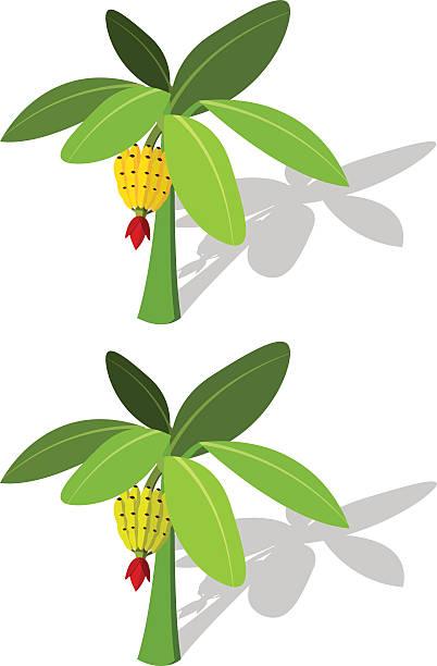 Banana tree with banana fruit vector art illustration