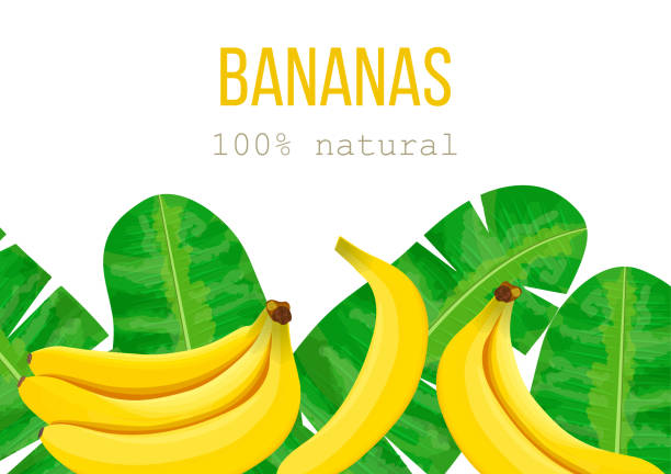 Bananas and tropical palm leaves, dense jungle. Vector illustration with tropic motif. text 100 percent natural Bananas, tropical palm leaves, dense jungle. Vector illustration with tropic summertime motif. text 100 percent natural. Can be used as background texture, wrapping paper, textile, wallpaper design banana borders stock illustrations