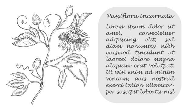 illustrazioni stock, clip art, cartoni animati e icone di tendenza di banner with black maypop and place for text - illustrazioni di passiflora