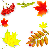 Banner with maple autumn leaves and rowan branches with ashberry . Autumn maple leaf and rowan branches with ashberry isolated on a white background. Vector illustration