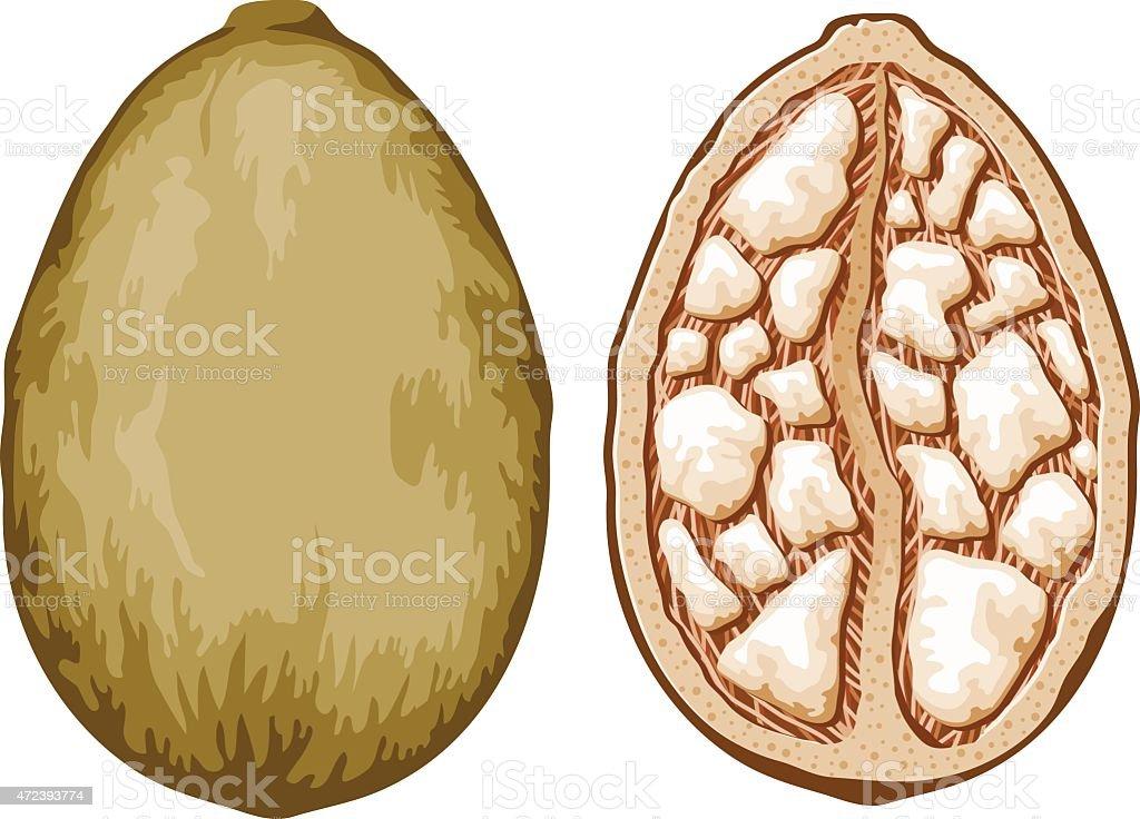 Baobab Adansonia Tree Fruit vector art illustration