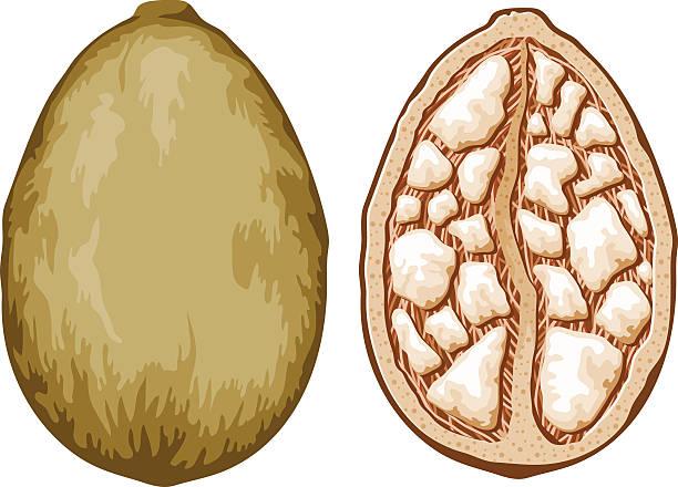 Baobab Adansonia árbol fruta - ilustración de arte vectorial
